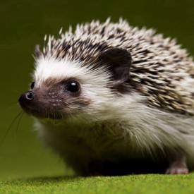 Colasanti's Tropical Gardens Hedgehog.