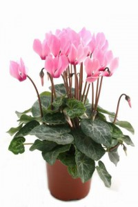 Cyclamen - Indoor Plant