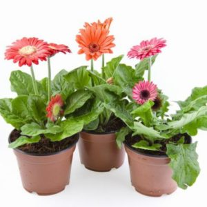 Potted Gerbera Daisy