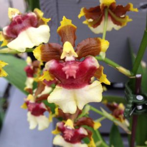Colasanti's Specialty Orchid