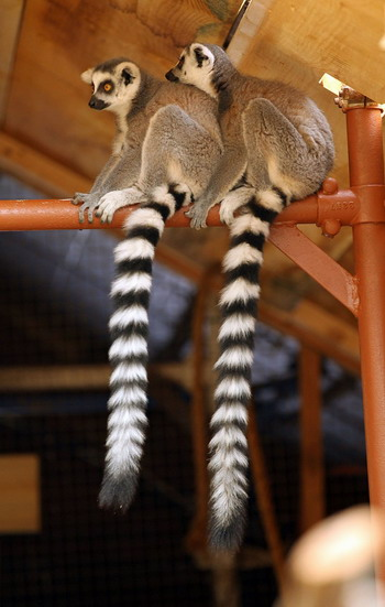 Colasanti's Tropical Gardens - Baby Lemurs. Photos taken by: TYLER BROWNBRIDGE/The Windsor Star.