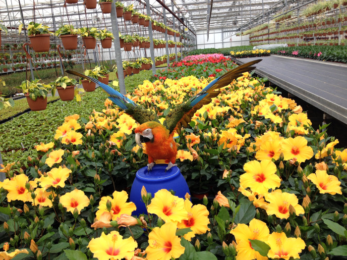 See Our Hibiscus Planting 12000 Pots Growing For Spring